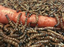 Live Superworms 500, 1000, 3000, 4000 - Small, Medium, Large - Free Shipping