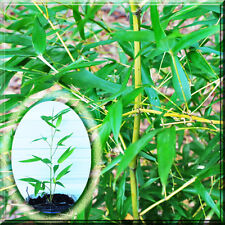 """Phyllostachys Bissetii Running BAMBOO 16"""" Cold Hardy -15F 1 to 5 Potted Plant"""
