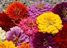 Zinnia Seeds - Pumila / Cut & Come Again Zinnia elegans