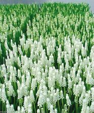 Muscari White Magic,'Grape Hyacinth, Spring-blooming Bulbs ~ NOW SHIPPING.