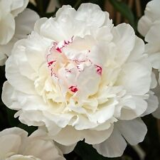 Peony Festiva Maxima (Bare Root) sweet scented  double blooming
