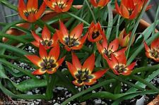 "Tulip Bulbs,""Species Tulip Little Princess"" Cheerful flower,Very Reliable, Rare"