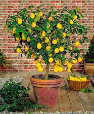 40rare Lemon Tree Seeds Fruit Seeds For Home Gatden balcony High survival Rate