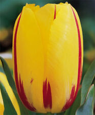 "Tulip Single Late ""La Courtine"" jumbo, late-blooming tulips, Fall Planting Bulb"