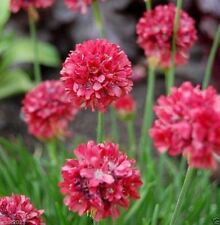 Armeria Maritima Joystick- Red- Drumstick Thrift-Good for cut flowers, Perennial