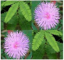 BULK SENSITIVE PLANT Flower Seeds TO TOUCH Great For Science Project KIDS MIMOSA