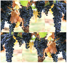 BULK Wine Grape Domestic Grape Grape-vine Cultivated Vitis vinifera Seeds Z.7-10