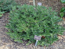 Japanese Plum Yew, Cephalotaxus harringtonia, Shrub/Tree Seeds