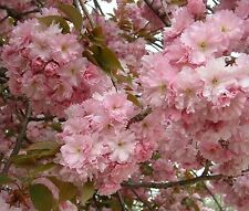 Japanese Flowering Cherry, Prunus serrulata, Tree Seeds
