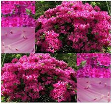 Rose Azalea - Rhododendron rosea SEEDS - GREAT FOR ACCENT GENERAL USE - ZONES 5+