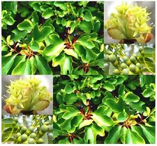 Sassafras Seeds Sassafras albidum Fragrant Blooms Leaves Mosquitoes & Insect 4-9