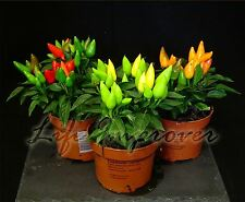 1 Colourful Baby Chilli Fruit Plant in Pot Garden Green Red Yellow Pepper