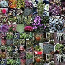 Succulent Cuttings x 111 + Pots. 30 Types Drought Hardy Flower Succulents Plant