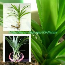 FRAGRANT PANDANUS SEEDLINGS , AMARYLLIFOLIUS PANDANUS, PANDAN LEAVES PLANT