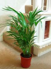 1 x Areca Palm Plant in Pot Indoor Garden Office Evergreen Butterfly Palm