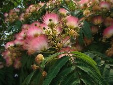 Mimosa Silk Tree, Albizia julibrissin, Seeds (Fast, Hardy, Showy, Fragrant)