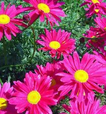 PAINTED DAISY * Pyrethrum coccineum * ROBINSONS GIANTS * EASY PERENNIAL * SEEDS