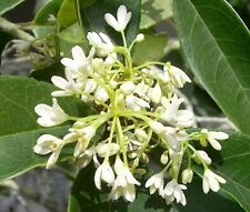 Fragrant Tea Olive ( osmanthus fragrans ) - Live Plant - Quart Pot