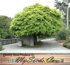 GREEN MAPLE Tree SEED - Excellent JAPANESE BONSAI - Acer palmatum momiji 紅葉