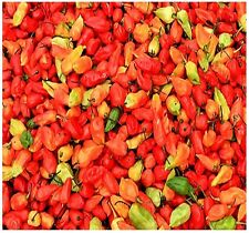 Bhut Jolokia Ghost Pepper Seeds - Certified in 2007 as hottest chile pepper