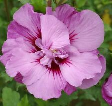 "Tahiti™ Hibiscus ( Althea ) - Rose Of Sharon - Live Plant - 4"" JumpStarts® Plug"