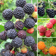 50 Pcs Rare Delicious Raspberry Fruit Seed Sweet Juicy Raspberries Plant Steady