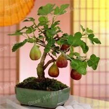 100pcs Rare Tropical Fig Mini Tree Bonsai Plant seed Rare Fruit Seeds for Home P