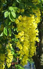 Lovely Golden Chain Tree, Laburnum anagyroides, Seeds