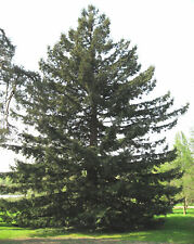 California Redwood, Sequoia sempervirens, Tree Seeds (Fast Evergreen)