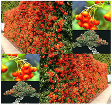BULK Scarlet Firethorn Shrub Seeds Pyracantha coccinea SHOWY FLOWER  ~ A+ BONSAI