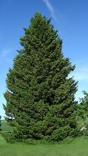 Green Douglas Fir, Pseudotsuga menziesii viridis, Tree Seeds (Fragrant Evergreen