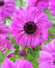 """SPRING BULBS 12 X DOUBLE PINK ANEMONE  """"THE ADMIRAL""""-GARDEN PLANT-PERENNIAL"""