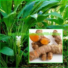 Turmeric, Curcuma Longa, Rhizomes Root for Cultivation, Growing, Heirloom Herbs