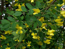 Siberian Pea Tree, Caragana arborescens, Seeds (Showy, Hardy, Easy, Fragrant)