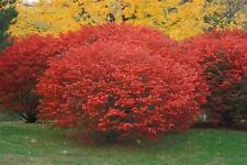 Burning Bush, Euonymus alatus, Shrub Seeds (Fall Color, Hardy)