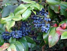 Oregon Holly Grape, Mahonia aquifolium, Shrub Seeds (Edible, Fall Color, Hardy)