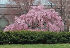 Weeping Higan Cherry, Prunus subhirtella pendula, Tree Seeds (Showy, Fast)