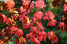 Full Moon Maple, Acer japonicum, Tree Seeds (Fall Color, Bonsai, Fast)