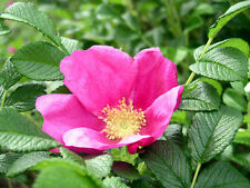Pink Beach Rose, Rosa rugosa Pink, Shrub Seeds (Fast, Fragrant, Edible)