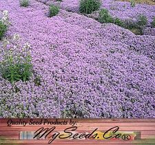 REG CREEPING THYME - MOTHER Thymus Serpyllum Herb Seeds - Perennial Ground Cover