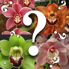 Cymbidium__MYSTERY ORCHID__no ID unknown hybrid BLOOMING SIZE SURPRISE EZ HARDY