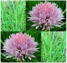 ONION CHIVES - FRENCH CULINARY CHIVE seeds - HERB - DECORATIVE AND EDIBLE