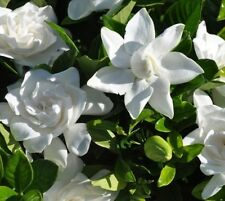Summer Snow Gardenia® ( cape jasmine ) - Live Plant - Quart Pot