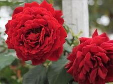 All Ablaze™ Red Climbing Rose - Live Plant - 10 Inch Pot - (see pics)
