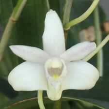 Dendrobium kingianum__VARIEGATED__RARE FORM EASY FRAGRANT orchid HARDY TOUGH
