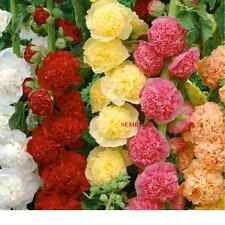 ALCEA flower double colours MIXED Hollyhock double mix flower seeds seeds