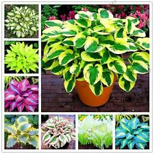 150pcs/bag beautiful Hosta Plants Perennials Lily Flower Shade Hosta Flower Gras
