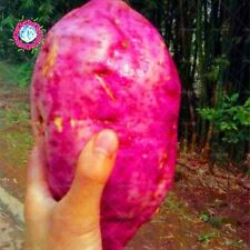 100 pcs/bag purple sweet potato bonsai RARE exotic delicious giant fruit vegetab
