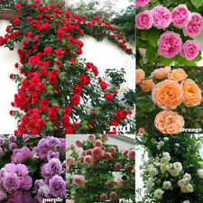 100Pc Climbing Rose Rosa Multiflora Perennial Fragrant Flower Seeds Garden Decor