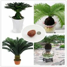 1 Pcs Cycas potted balcony planting  bag potted flower seeds bonsai cycads tree